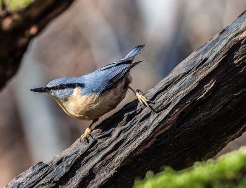 Pendant le confinement, entrainez-vous à reconnaitre les chants d'oiseaux !